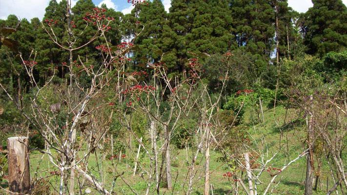 樹木葬地のガマズミが増えたおかげで、寺周辺にもガマズミが多く生えるようになりました。