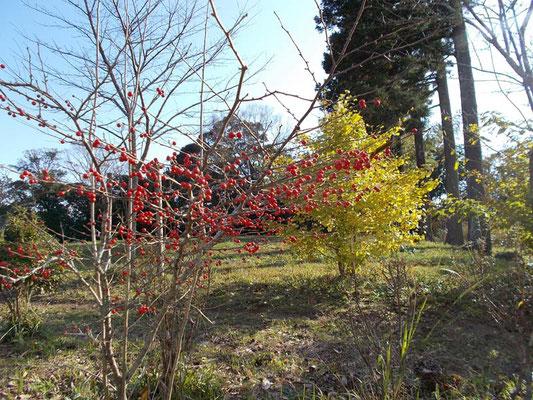 ウメモドキの木とイチョウ