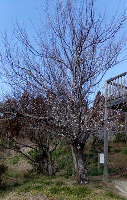 休憩所近くの梅。老木ながら力強く花を咲かせています。