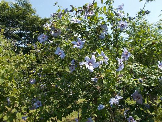 様々な種類のムクゲが咲いています。青い花びらのムクゲ