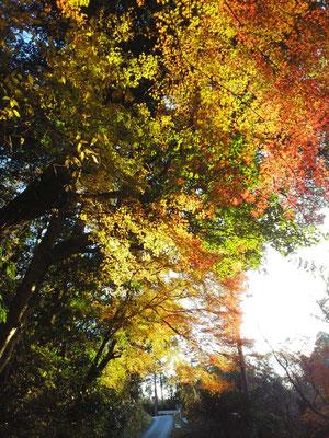 参道途中の紅葉がようやく紅葉です。