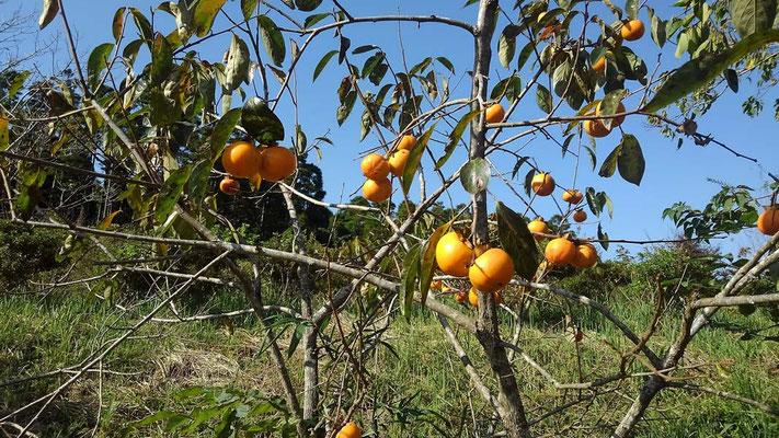 樹木葬地で実る柿の実