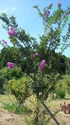 樹木葬地のサルスベリ。人気があり、沢山植樹されています。