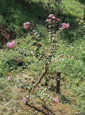 小さなサルスベリの花が咲きました。