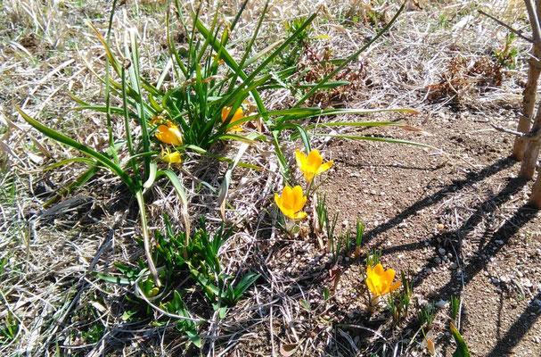 樹木葬地で会員が植えた球根から次々と花開き出しました。