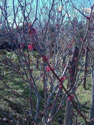 マルバの木の花も狂い咲き