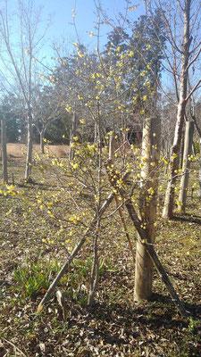 樹木葬地の黄梅