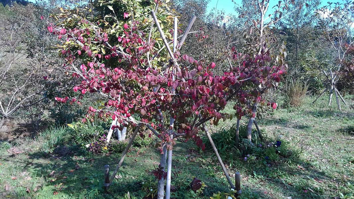 ニシキギの木が紅葉し始めました。