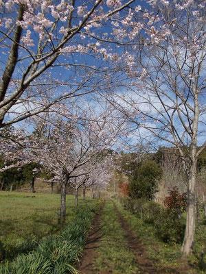 樹木葬脇の桜並木