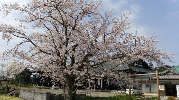 寺の桜も今年は早い開花でした。
