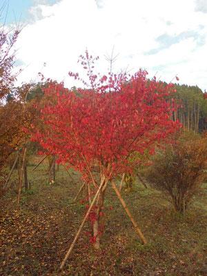赤く色づいた樹木葬地のニシキギ