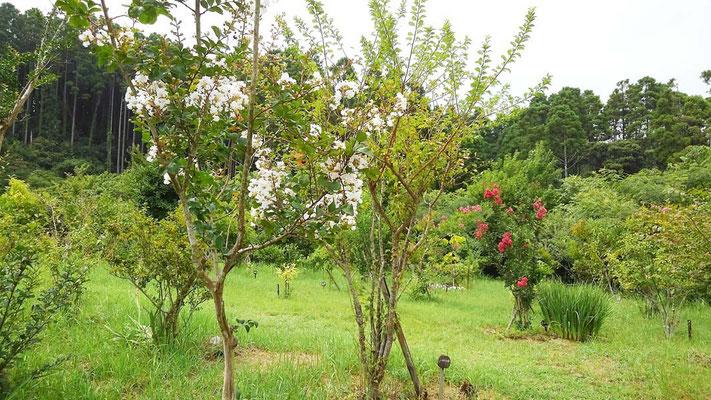 様々な色のサルスベリが咲いています。