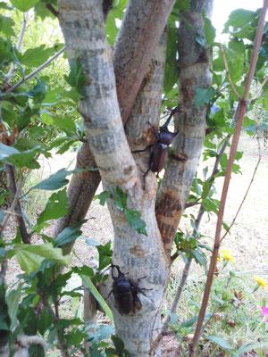 樹木葬地の木々にとまるカブトムシ