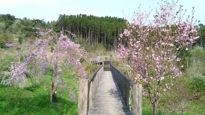 橋のたもとの桜