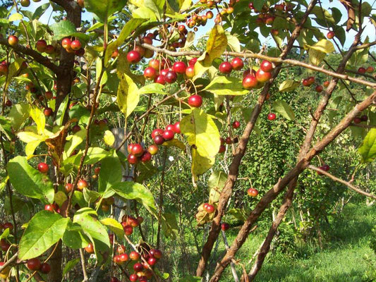 たわわに実ったヒメリンゴの木