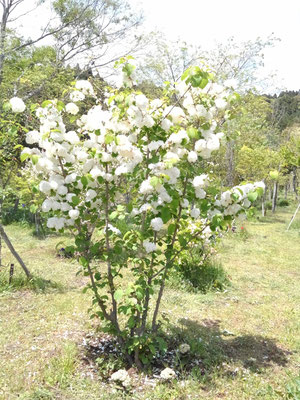 オオデマリの花が見事に花咲かせました。