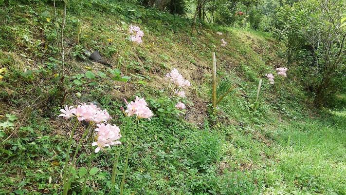 夏水仙の花
