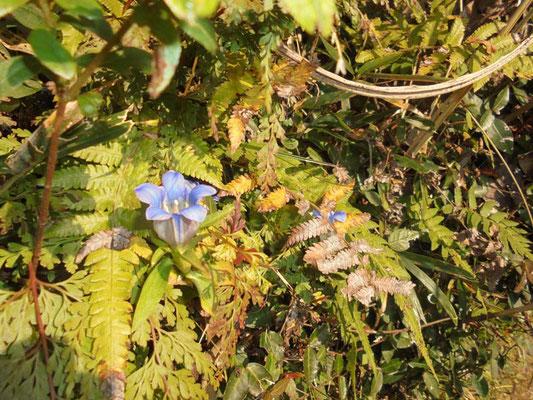 小さなリンドウを見つけました。