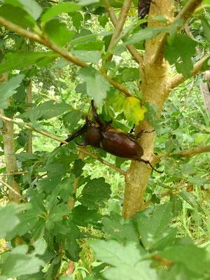 ムクゲの木の樹液を吸いに来たカブトムシ