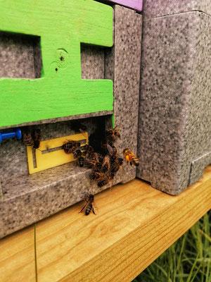 Entrée d'une mini-ruchette de fécondation