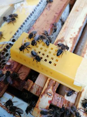 Les abeilles orphelines s'intéressent à la nouvelle reine sans agressivité