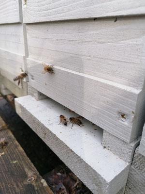 Ces unités seront nourries et traitées contre le varroa comme toutes les colonies