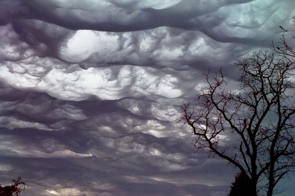 Undulatus asperatus (foto de local, data e autor desconhecidos).