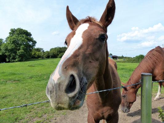 Pferde am Garadice
