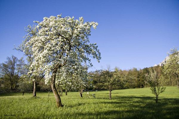 Birnbaumblüte im Naturpark
