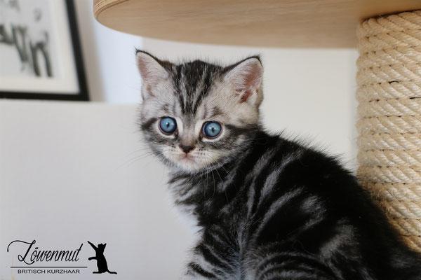 Katzen von Löwenmut - Britisch Kurzhaar // Woche 7