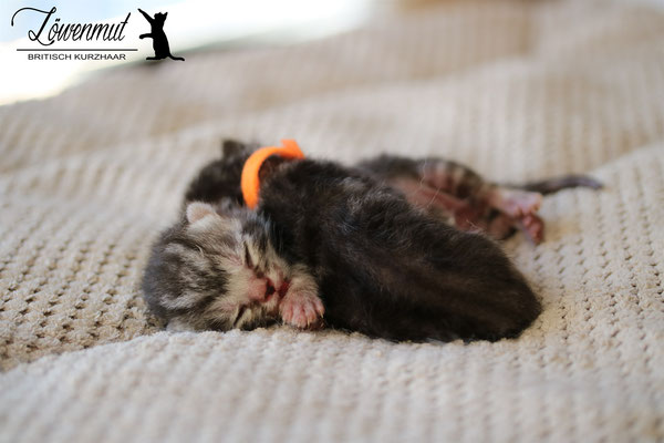 Katzen von Löwenmut - Britisch Kurzhaar // Woche 1