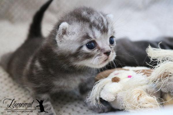 Katzen von Löwenmut - Britisch Kurzhaar // Woche 3