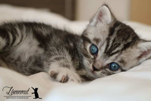 Katzen von Löwenmut - Britisch Kurzhaar // Woche 5 & 6