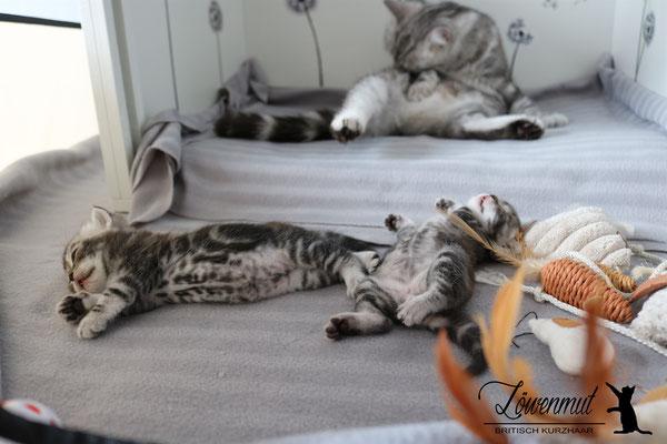 Katzen von Löwenmut - Britisch Kurzhaar // Woche 4