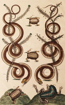 Serpientes africanas y anfibios (Microhylidae). A. Seba, 1735.