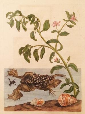 Sapo del Surinam o cururú junto a una planta del género Sesuvium. Grabado calcográfico iluminado a mano de época. M. S. Merian, 1705.