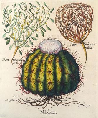 Rosa de Jericó y Melocactus. Grabado calcográfico iluminado a mano de época. B. Besler, 1613.