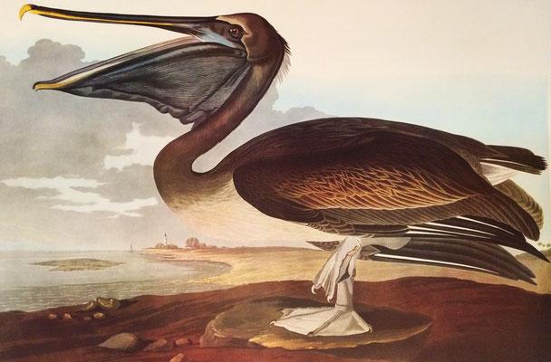 Pelícano pardo del Pacífico. J.J. Audubon, 1827. Fototipia, Leipzig Ed., 1972.