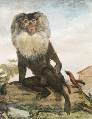 Sileno o macaco de cola de león. Grabado calcográfico iluminado a mano de época. G.L. Leclerc, conde de Buffon, 1766.