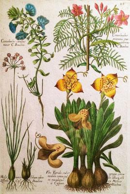 Cebolleta, flor de tigre y diferentes especies de Convolvulus. Grabado calcográfico iluminado a mano de época. J.T. de Bry, 1641.