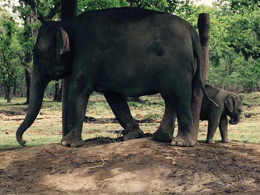 Inwieweit die Tierhaltung Tierquälerei gleicht, kann ich nicht beurteilen. Natürlich werden die anmutigen Tiere auch zu Arbeitszwecken gehalten, und in der Zucht sind sie angekettet, werden aber auch in den Dschungel ausgeritten.