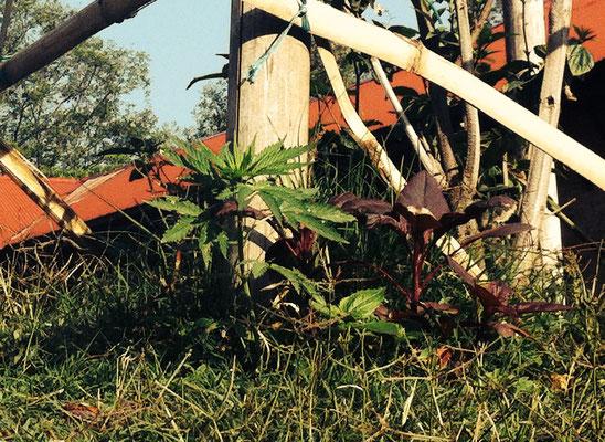 Joint gefällig? :) Cannabis wächst hier echt überall.