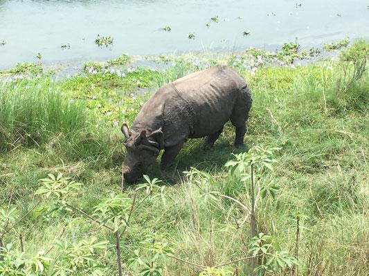 Panzernashörner sehen wir auf der Dschungelwanderung keine; erst später am Flussufer grast eines sehr friedlich.
