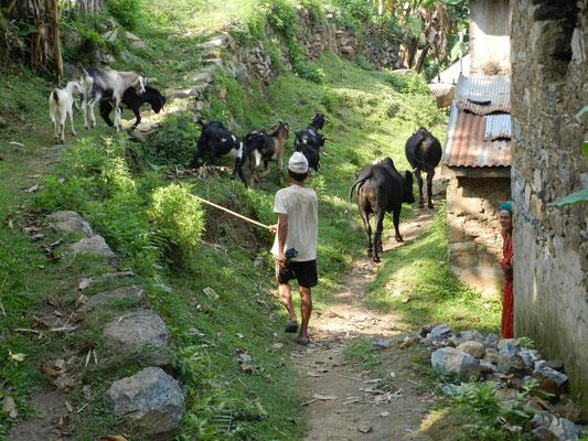 … andere Ziegen. Das Dorf ist nicht ebenerdig, sondern über den Hügel verteilt, und so wird das Vieh munter über die kleinen Trampelpfade getrieben.