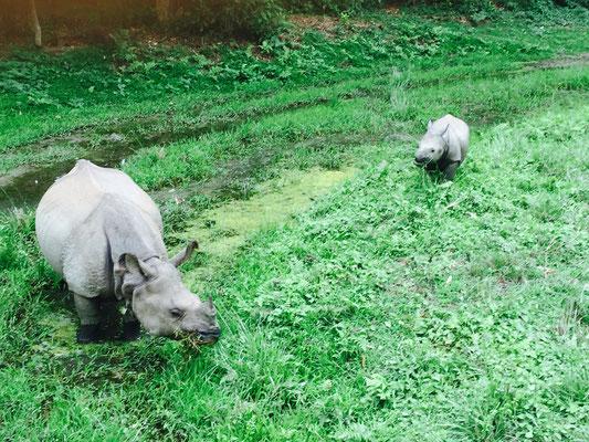 Und eine Panzernashornmama mit ihrem Jungen … Das war das i-Tüpfelchen auf der Elefantensafari.