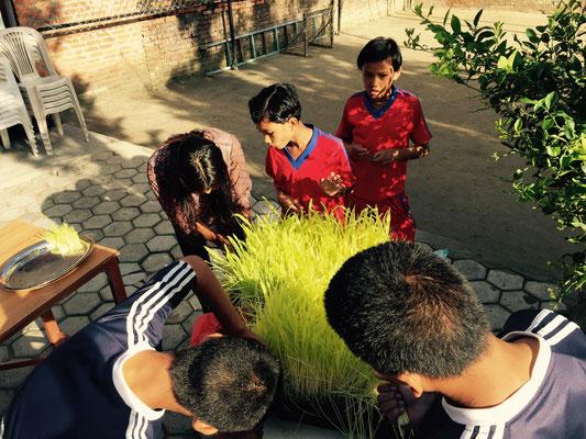In einem Lagerraum wurde Weizengras (जमरा – Jamara) gezüchtet.