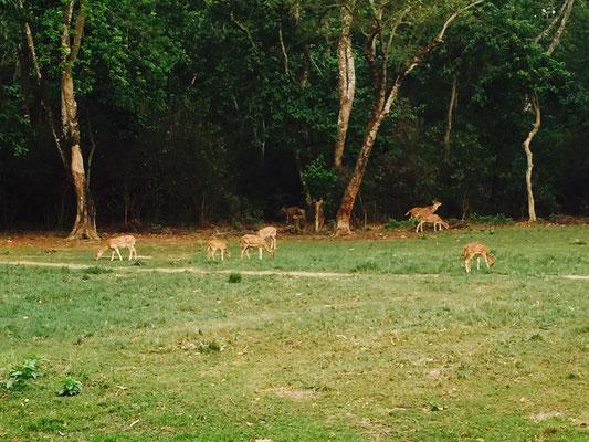 Auch die Rehe sind zutraulicher und laufen nicht so schnell weg, schauen auch öfters neugierig uns herüber.
