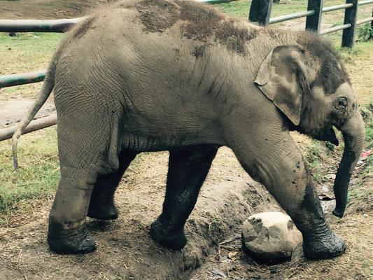 … Der hier ist überhaupt nicht scheu und spielt frech mit den Touristen. Aber man muss vorsichtig sein, denn auch in dem Alter haben die Tiere bereits einen kräftigen Tritt.