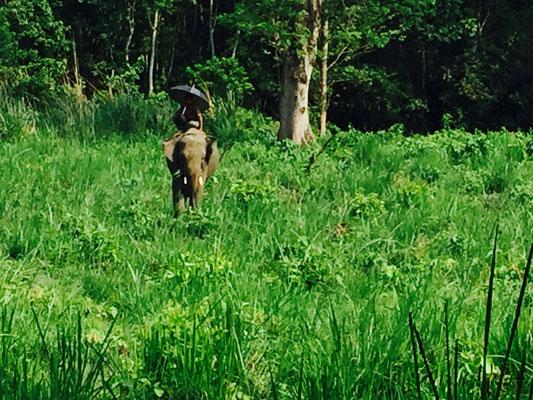 Mitunter sehen wir auch Elefanten, die gerade zum Grasen ausgeritten werden.