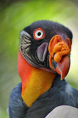 Le vautour pape - Amérique du Sud